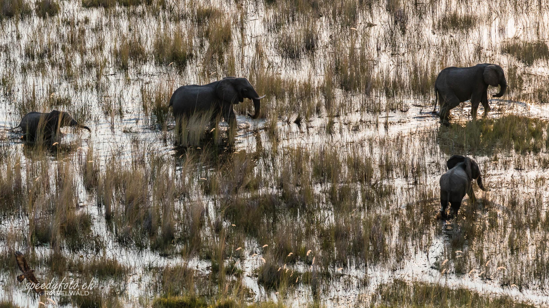 Okavango Delta Elefants