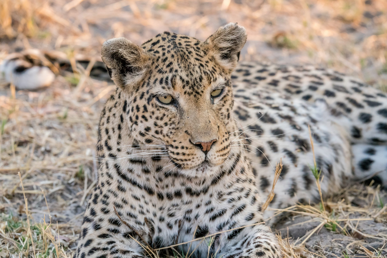 Leopard - the beauty