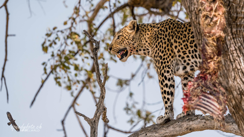 Loepard - after Lunch