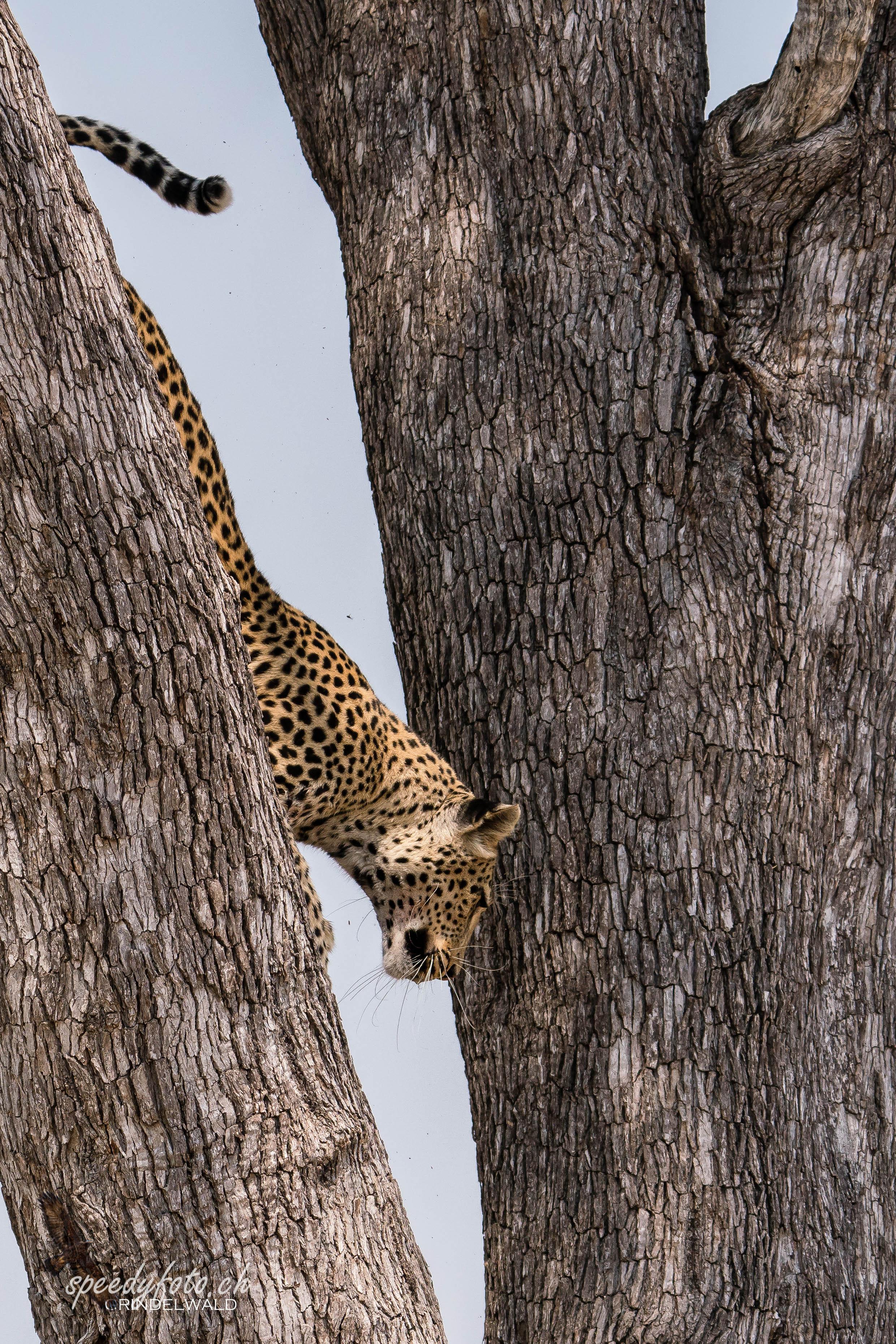 Leopard - redy to go