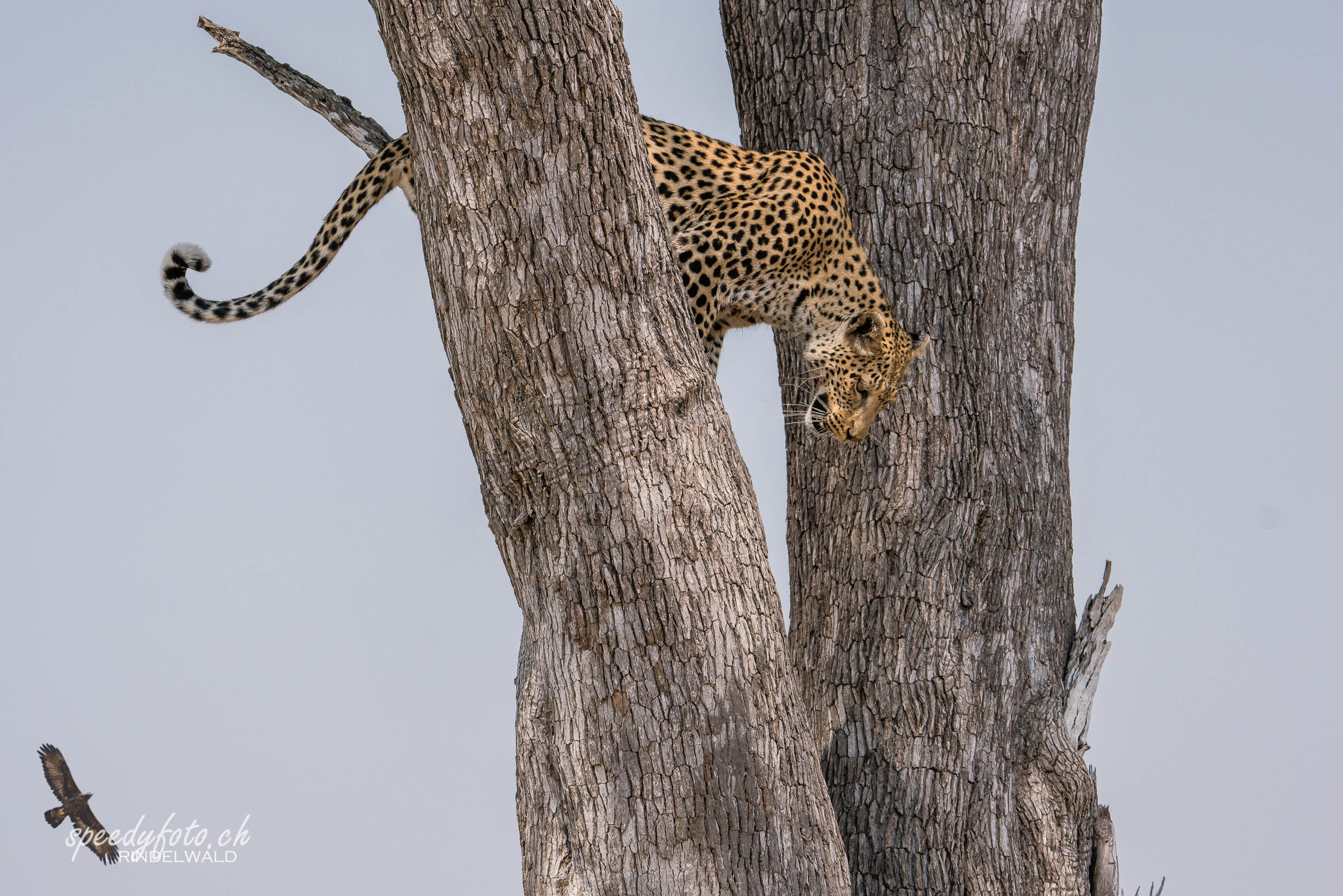 Leopard - up in the Tree