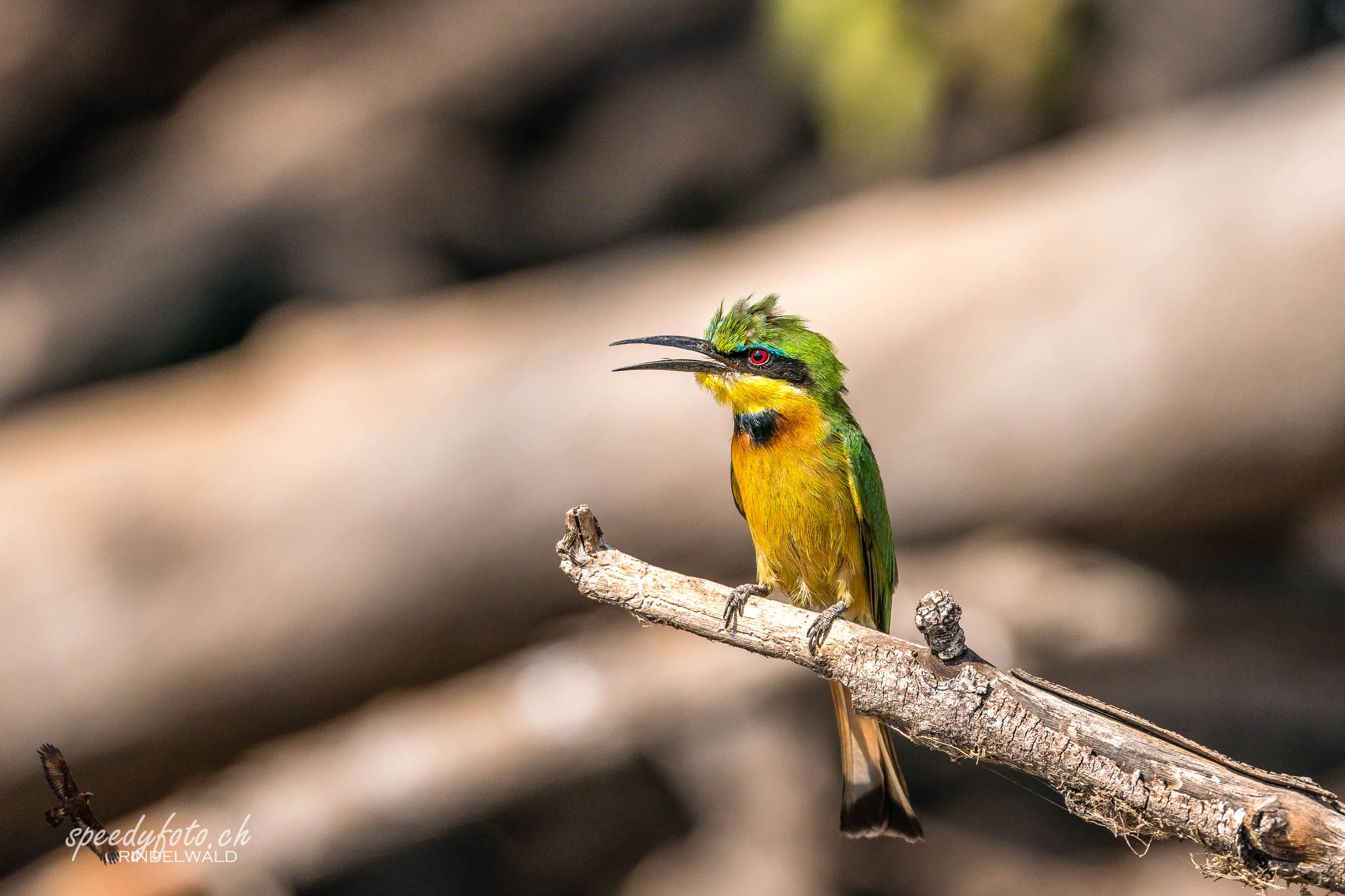 Litlle Bee Eater