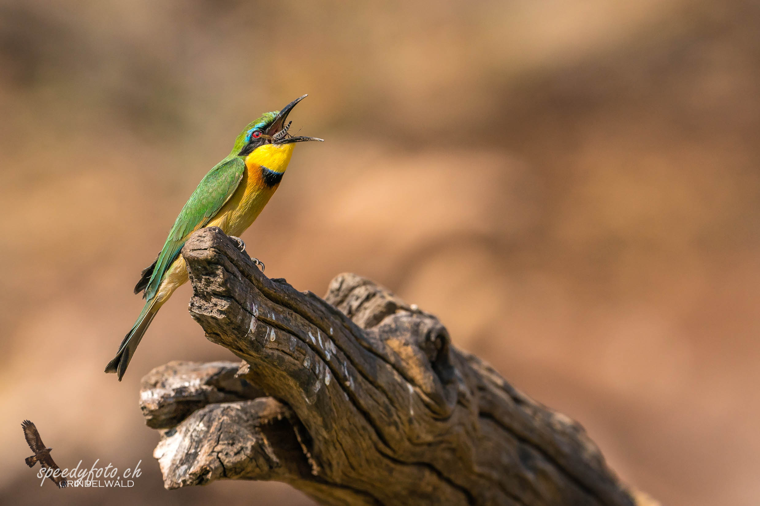 Eating Insects - Bee Eater