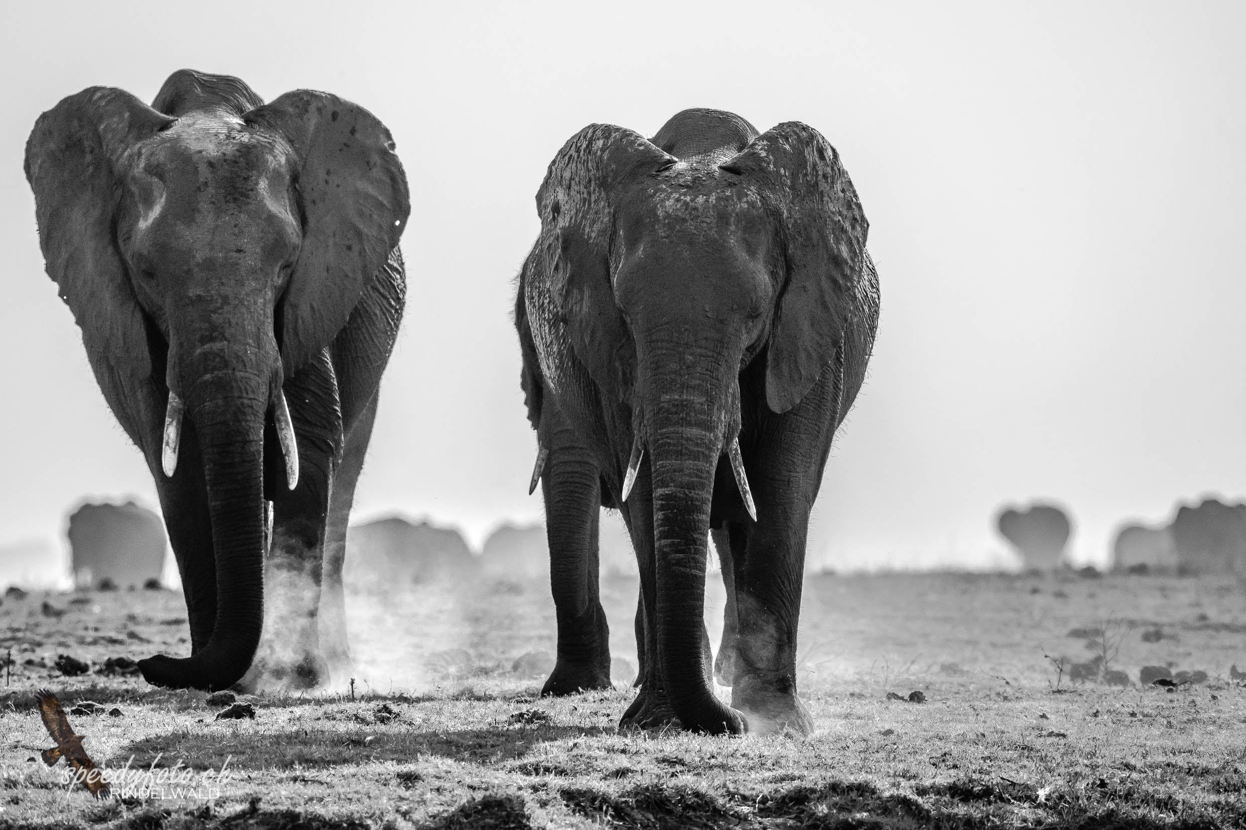 Aproching Elefants - black and white