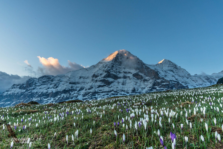 Frühling auf der Alp - Eiger