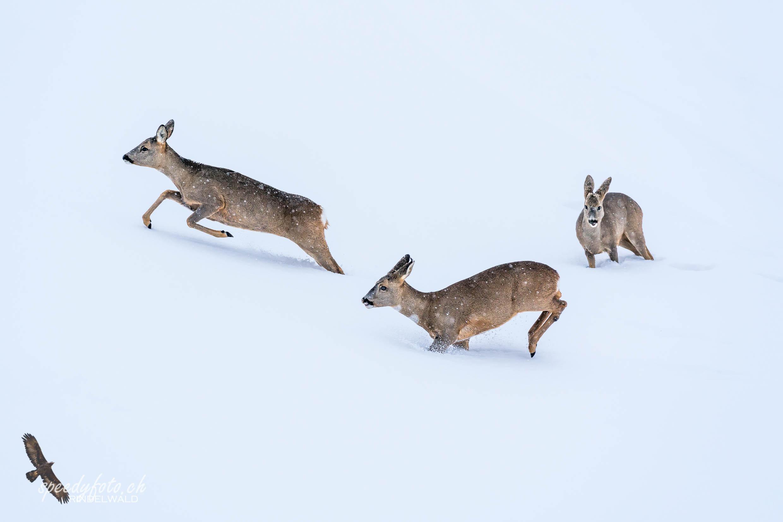 Winterspiele - Wildlife Grindelwald