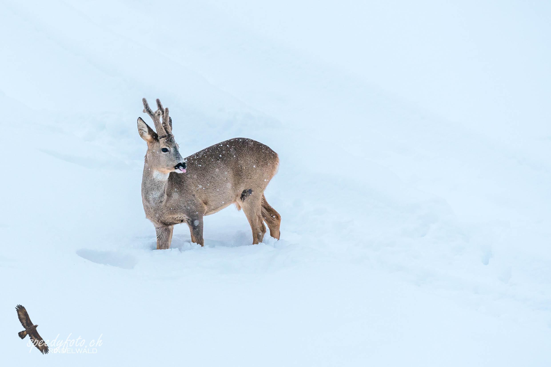 Wintermärchen - Wildlife Grindelwald