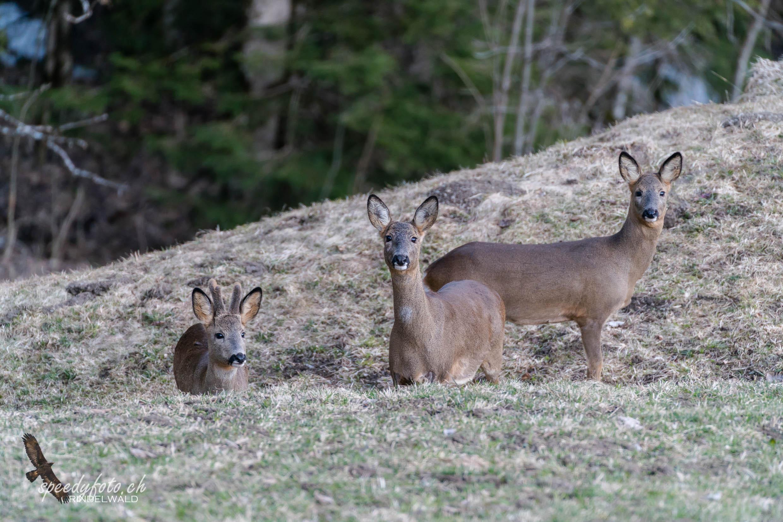 Im Dreierpack - Wildlife Grindelwald