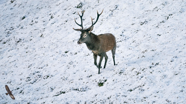 Im Schnee unterwegs - Hirschstier