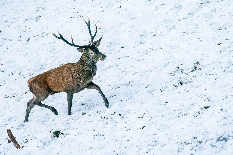 Der Wanderer - Hirschstier - Wildlife Grindelwald