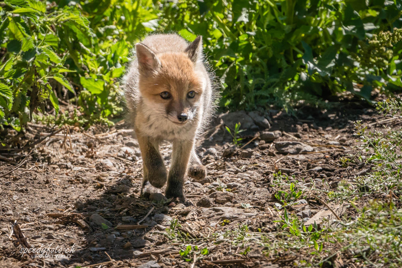 Auf Entdeckung - Fuchswelpe