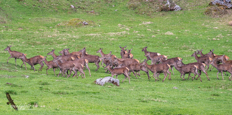 Im Herdentrieb - Hirsche Grindelwald