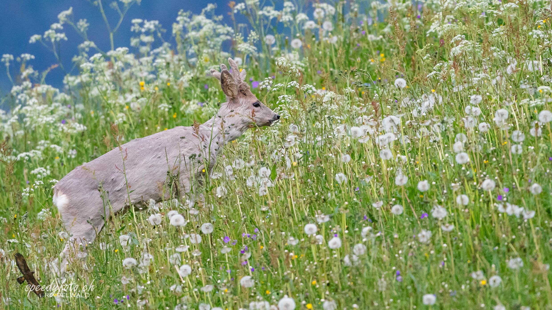 Rehbock im Frühlingsgras
