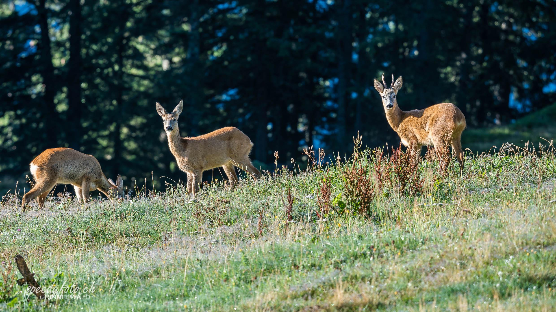 Morgenbegegnung - Wildlife Grindelwald