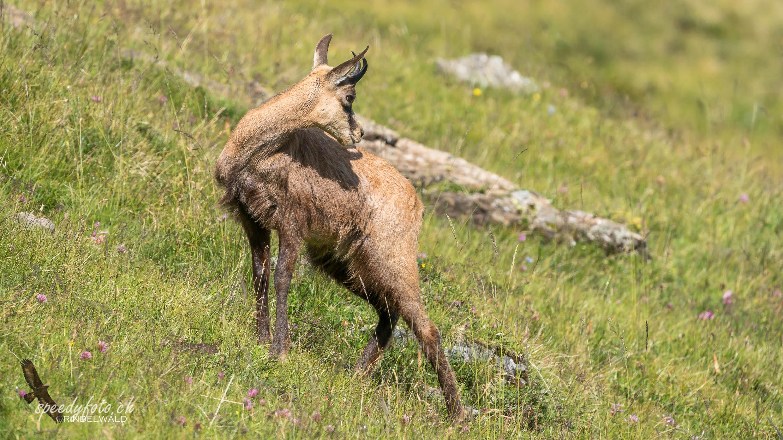 Sommergämse - Wildlife Grindelwald