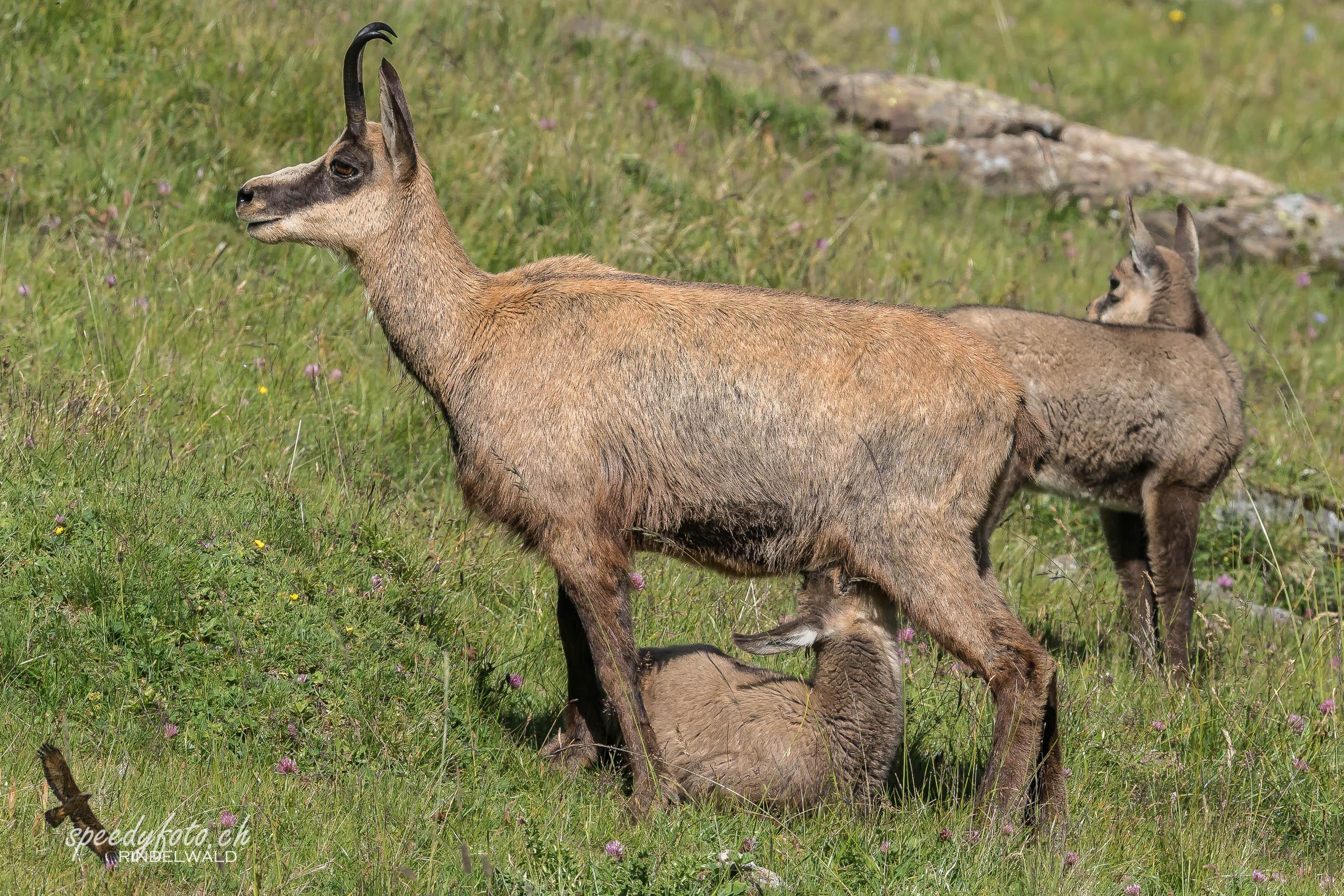 Mutterpflichten - Wildlife