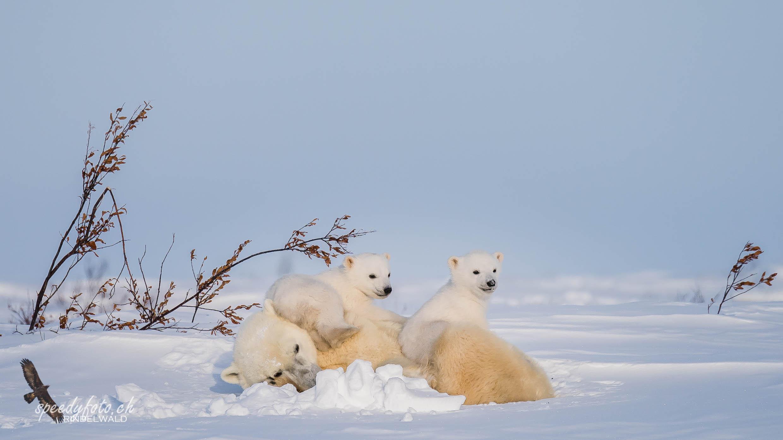 The cute ones...! Arctic Canada 2019