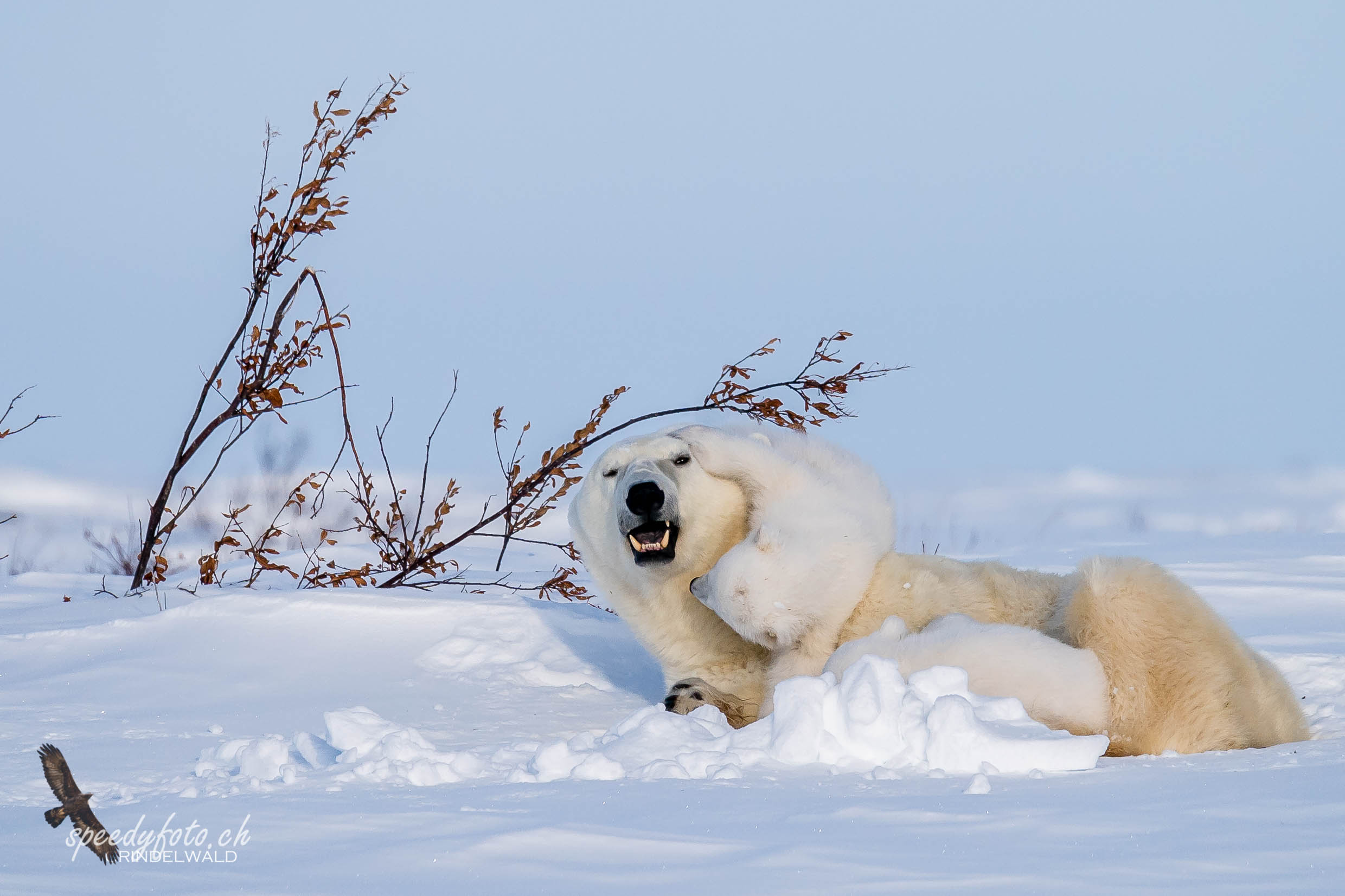 Hay mom - play with me! Arctic Canada 2019