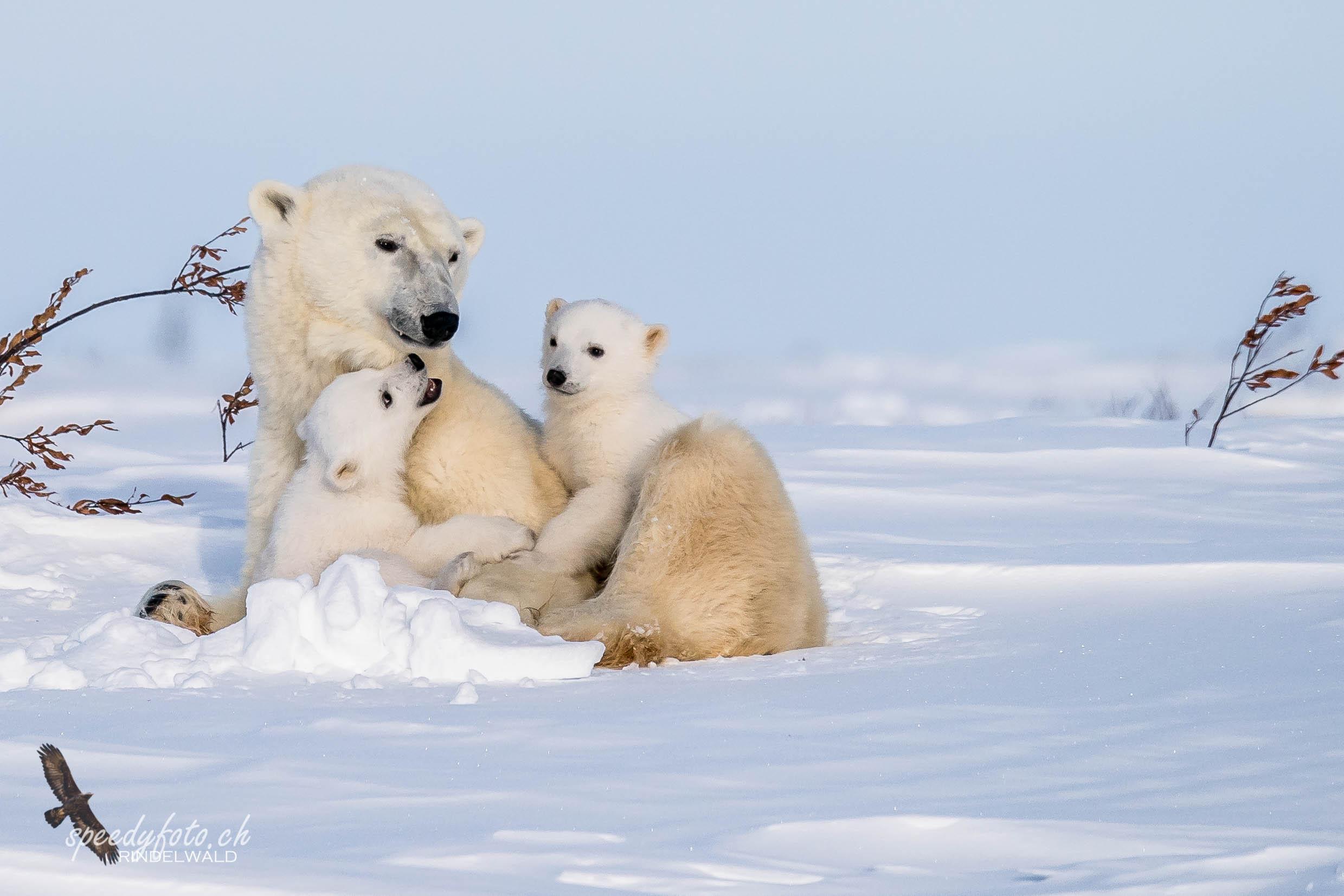 ...just came ou of the den! - Polar Bear Babies 2019