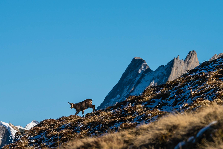 Bergwelt Idylle - Wildlife Grindelwald
