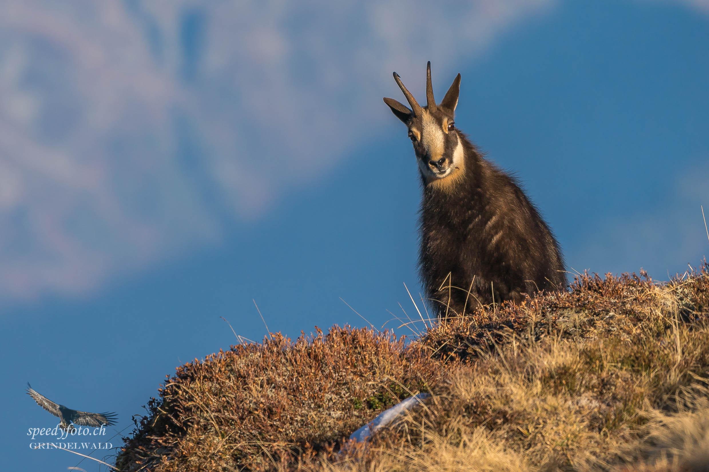 Begegnung im Abendlicht - Grindelwald Wildlife