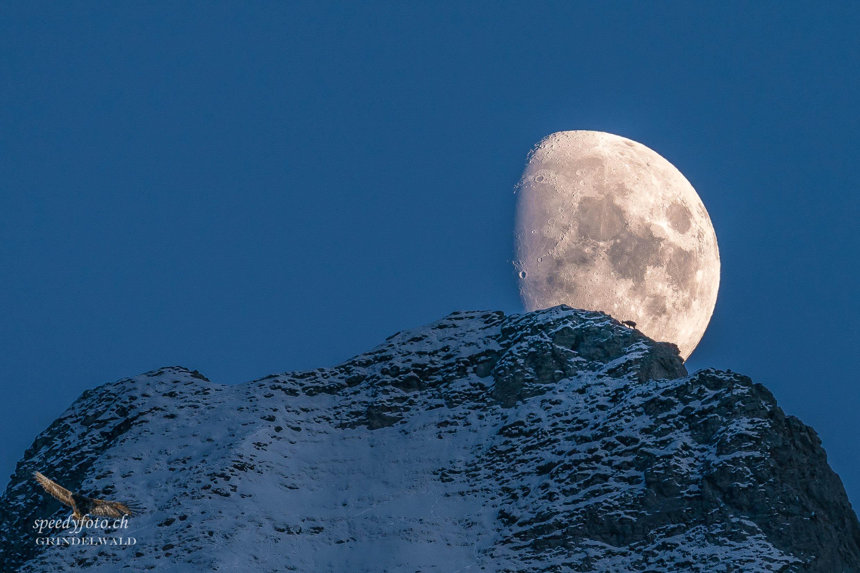 Die Gämse im Mond - Wetterhorn
