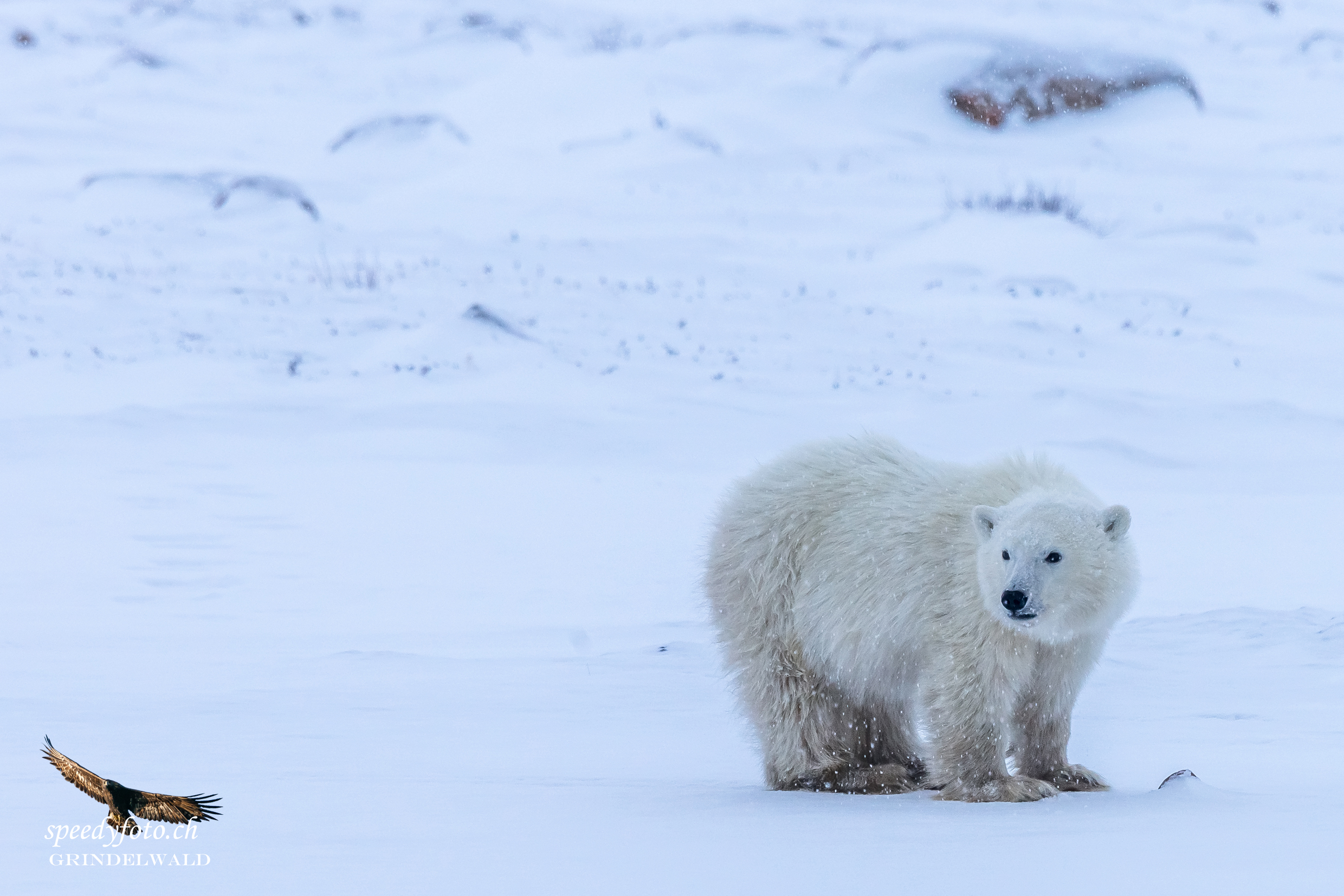 The young one - Arctic Canda