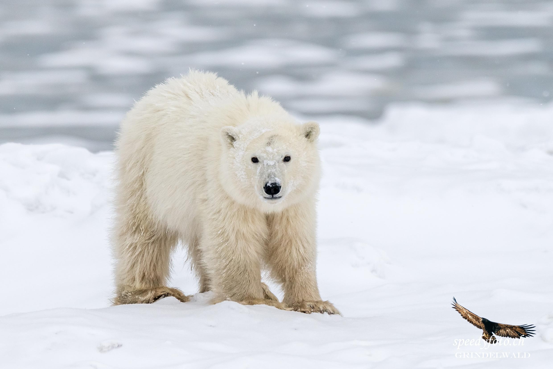 Arctic Canda