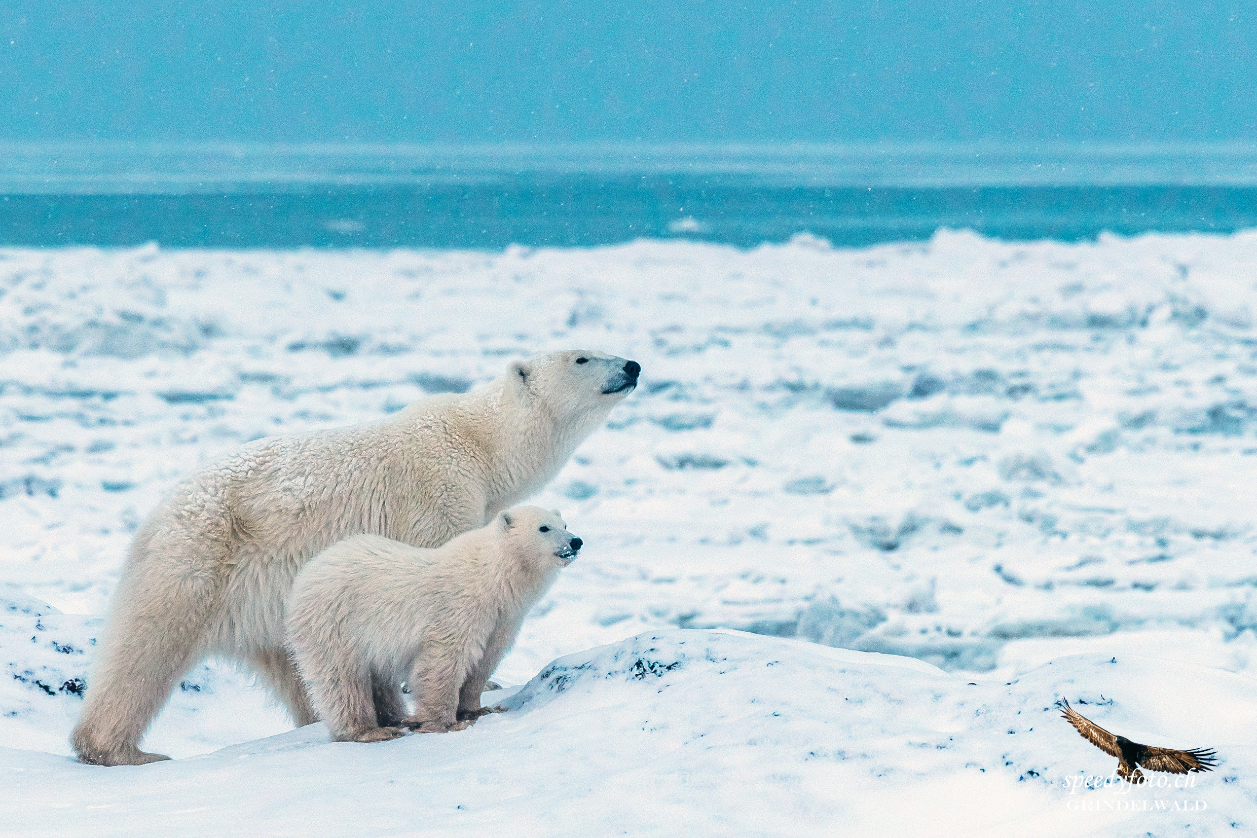 smelling thome thing - Polar Bears