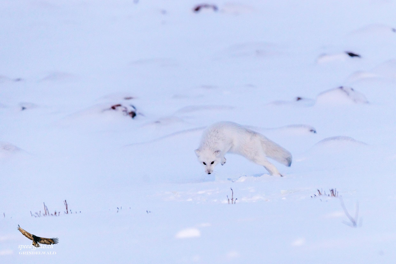 Hunting - Polar Fox