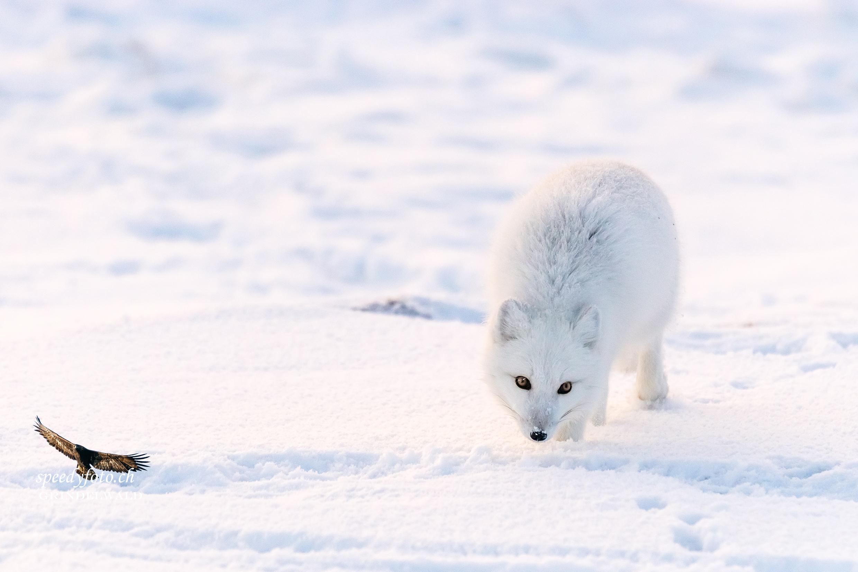 Surching for Food - Polar Fox
