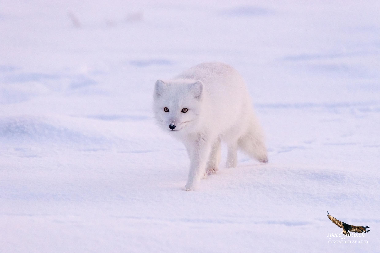 white & white - Polar Fox