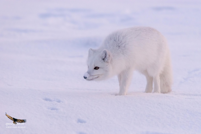 on a very cold morning - Polar Fox