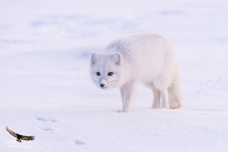 Roaming Polar Fox