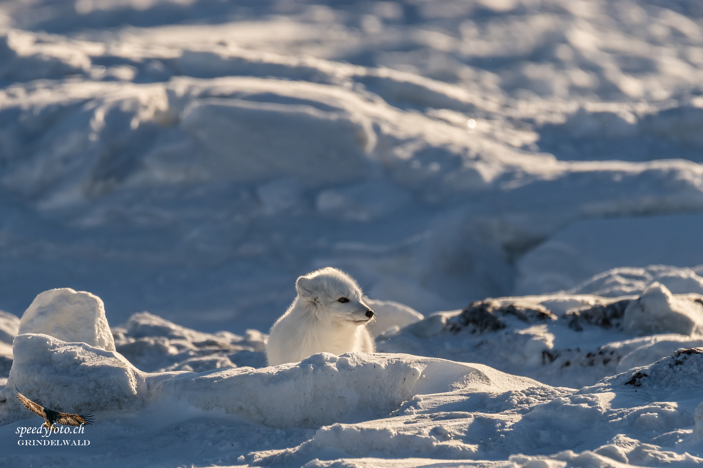 Polar Fox - morning light