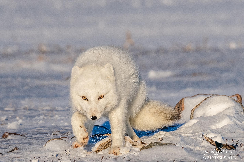 Look in my eyes - Polar Fox