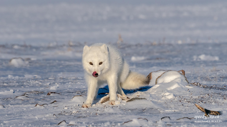 Polar Fox - Aproaching