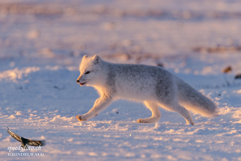 Polar Fox - in Morning Light