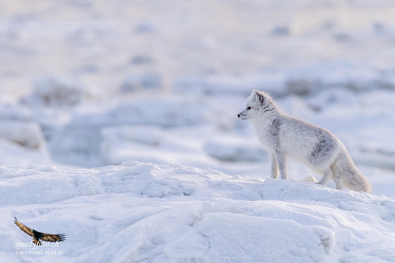 Polar Fox auf Entdeckungsreise