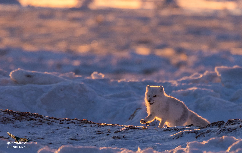 Polar Fox - Backlight early morning