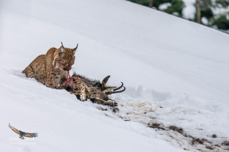 Der Beuteriss - Luchs - Wildlife Grindelwald
