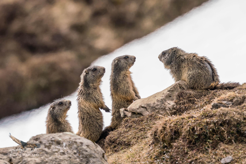 Sängerknaben - Wildlife Grindelwald