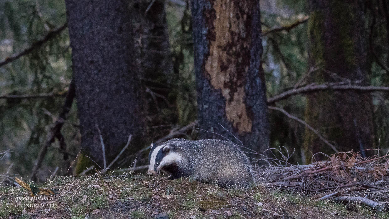 Auf Nahrungssuche - Wildlife Grindelwald